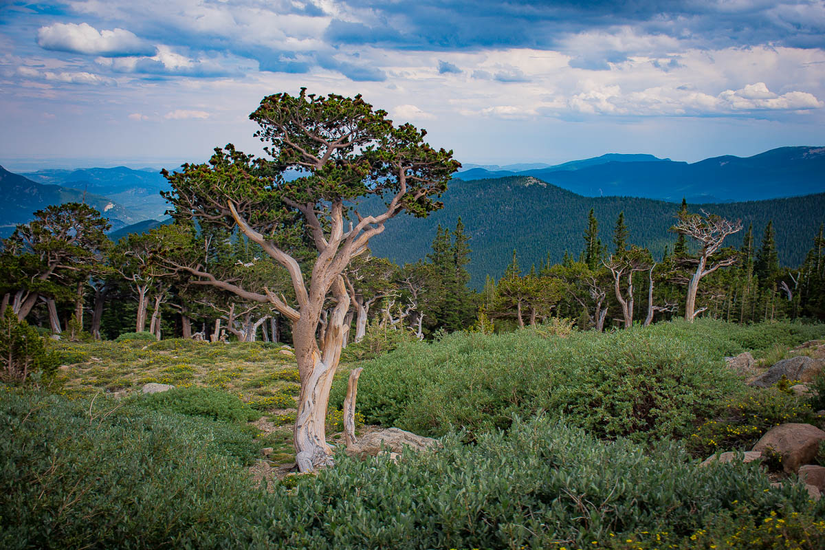 Bristlecones on the slopes of Mt. Evans.